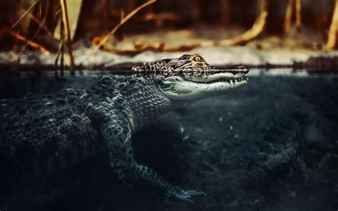 wallpaper krokodil crocodile wallpaper hd hd desktop wallpapers 4k hd