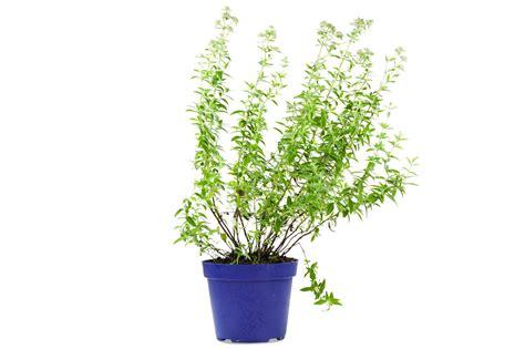 menta in vaso pianta di menta montana in vaso diametro 14cm fiori