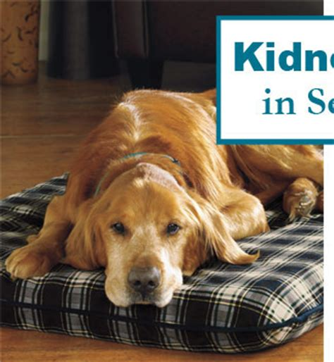 signs of kidney disease in dogs senior healthcare kidney disease in senior dogs signs symptoms treatment