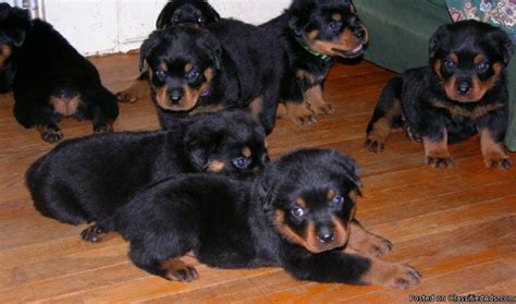 rottweiler for sale in indiana rottweiler pups price 350 00 for sale in cincinnati indiana best pets