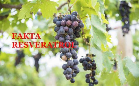 supplement yang bagus bagus ke produk supplement yang ada resveratrol root of