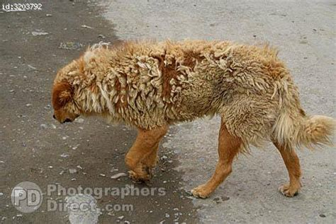 Dogs Shedding Winter Coat pd stock photo himalayan shedding winter coat