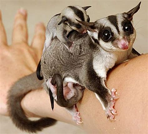 sugar glider sweet striped and stealthy animal pictures and facts factzoo com