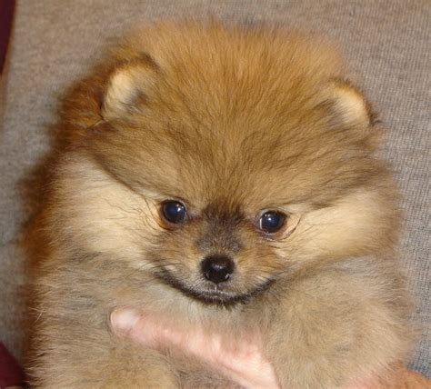 pomeranian breeders in michigan puppies tisha pomeranians michigan breeder pomeranian breeders