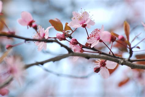 fiori ciliegio ciliegio e pesco la factory di fia