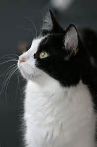 black and white cat cats kittens pinterest tuxedos