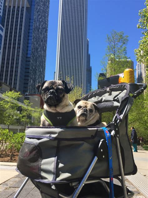 pug rescue chicago pugs take chicago pugs in the city this pug
