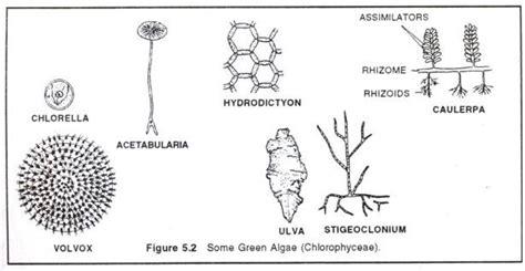labelled diagram of chlorella types of algae green brown and algae with diagram