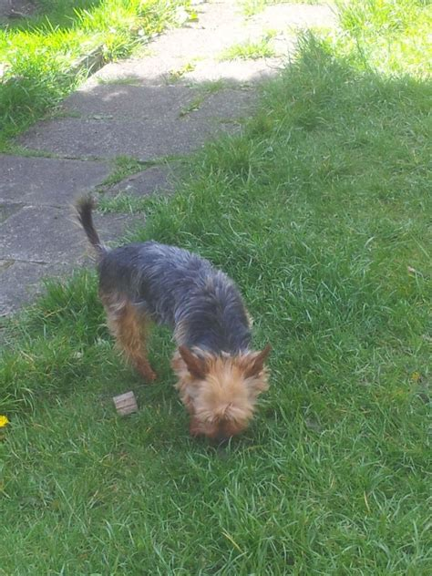 yorkie stud terrier stud bolton greater manchester pets4homes
