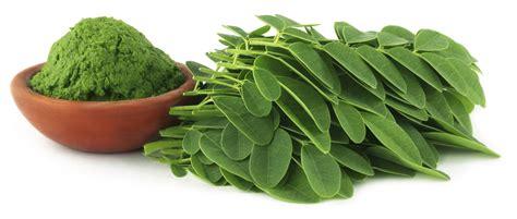 Kapsul Teh Hijau khasiat daun kelor daun kelor