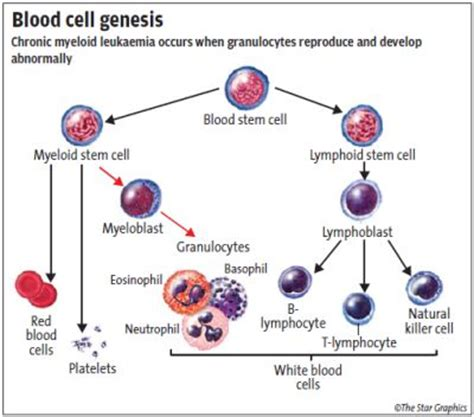 genesis of blood cells archives the