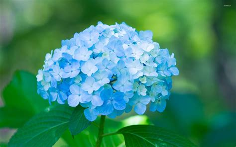 wallpaper flower hydrangea blue hydrangea wallpaper flower wallpapers 46146