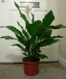Indoor Japanese Plants Large Peace Lily Indoor House Plant White Japanese