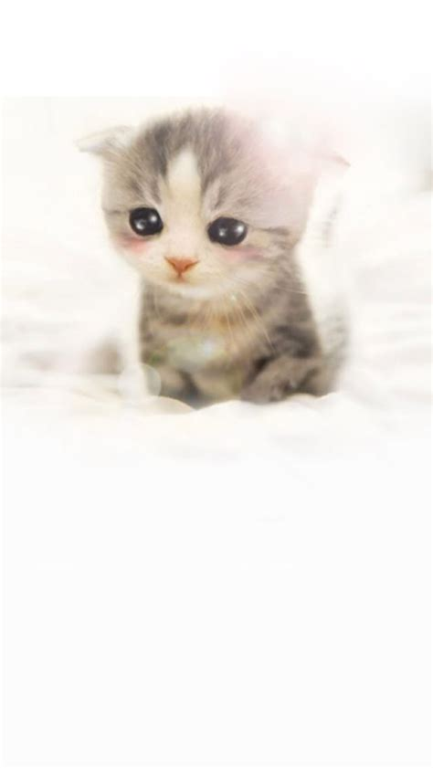 wallpaper iphone cat cute cute scottish fold wallpaper free iphone wallpapers