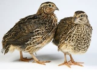 Tempat Jualan Pakan Ternak cara merawat burung puyuh dengan baik usaha ternak
