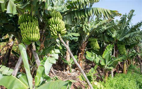 when do banana trees fruit tropical fruit trees banana