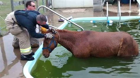 Backyard Rescue Pools Firefighters Use All Their Strength To Rescue 700 Pound