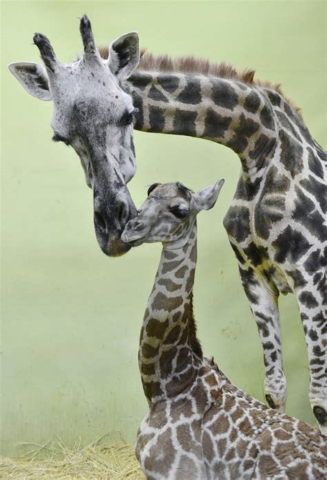Ap Search Birth Records Giraffe Gives Birth To Record 18th Calf At Samsung Everland Safari Park In Yongin