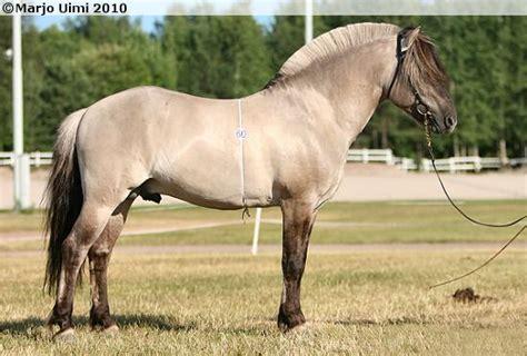 fjord mule norwegian fjord stallion haavanesko horses buckskin