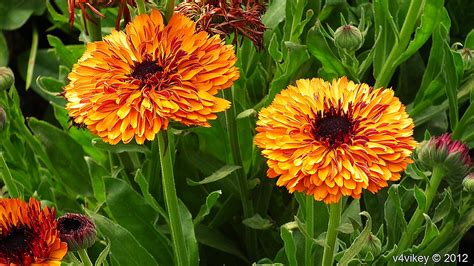 chrysanthemum colors orange color chrysanthemum flowers image 171 wallpaper tadka