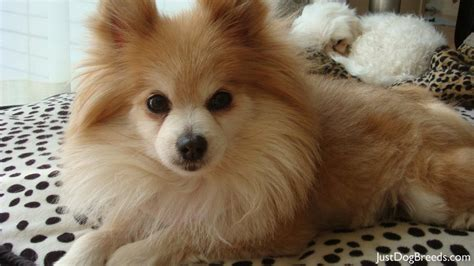 different kinds of pomeranians breeds pomeranian