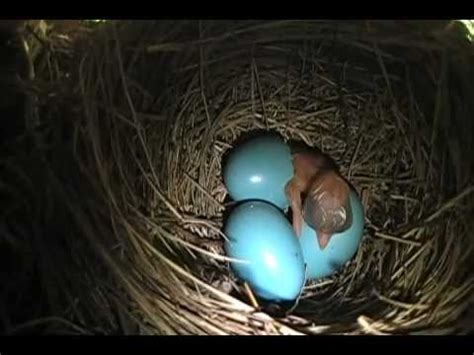 robin egg hatching youtube