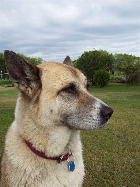 puppy profile akita profile free stock photo domain pictures