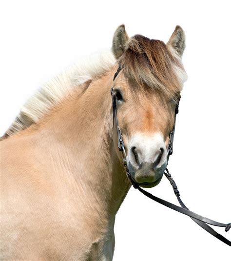 fjord paard fjord gekop paardenrassen encyclopedie