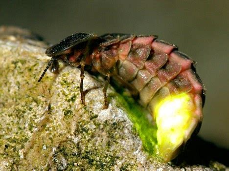 the glow worm and other beetles classic reprint books proud of his work thoughts