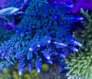 Io Lighting The Og Blue Tort The Bluest Acropora Of Them All Reefs Com