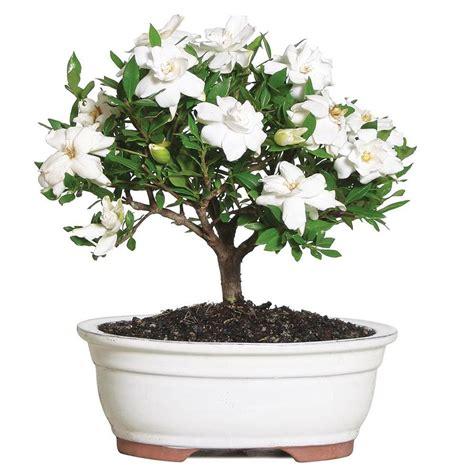 brussels bonsai   white gardenia  clay planter