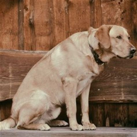 liver cancer in dogs expectancy in dogs with liver cancer dogs health problems