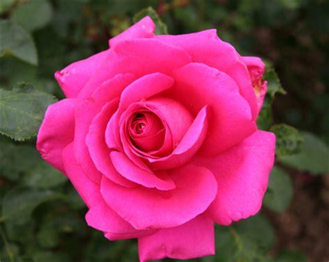 Renda Mawar S 2 ini dia makna warna bunga mawar beserta gambar fotonya sarkliwon