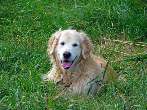 arthritis in golden retrievers how to help a suffering with arthritis golden retrievers