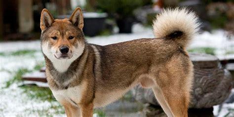 shikoku puppies shikoku information characteristics facts names
