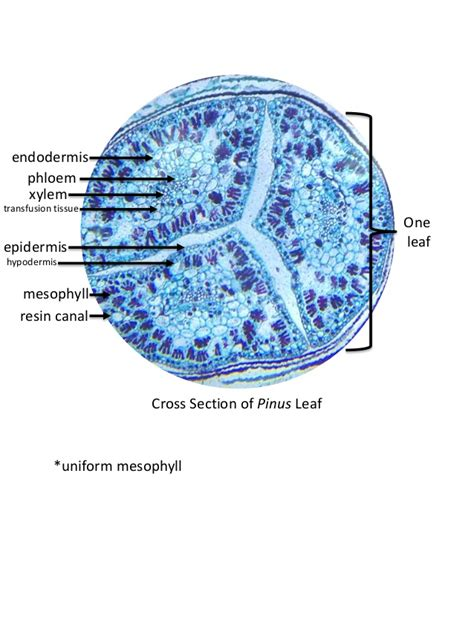 Pinus Leaf Cross Section by Exercise 15 Leaf Anatomy