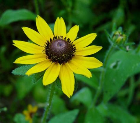maryland state flower black eyed susan