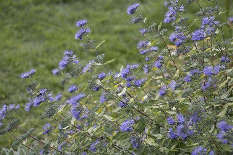 sunshine blue bluebeard caryopteris incana proven