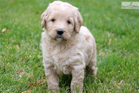 golden doodle names meet gage a goldendoodle puppy for sale for 750