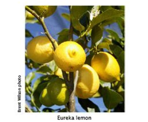 best fruit trees to grow in melbourne best backyard citrus burke s backyard
