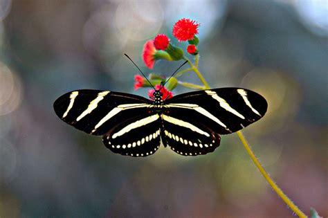 imagenes mariposas exoticas las mariposas invaden benalm 225 dena me gusta volar