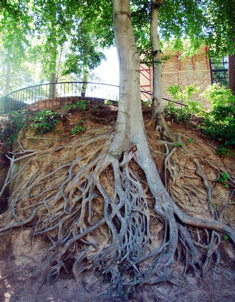 Window Well Grates Picture Of The Day Tree Roots Exposed 171 Twistedsifter