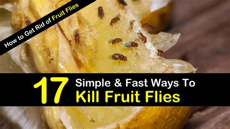 kill house flies how to get rid of fruit flies 17 simple fast ways to