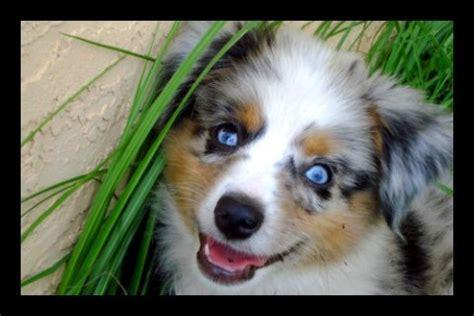 blue merle australian shepherd puppies for sale florida our aussies