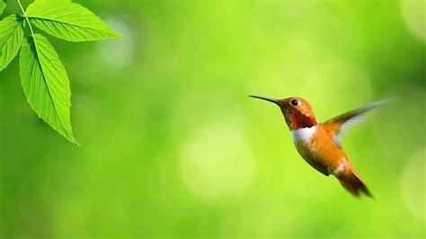 wallpaper hummingbird green background blur background hd animals  wallpaper
