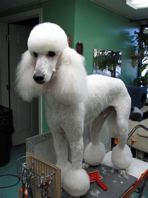 pictures of different types of poodle hair cuts pet grooming the good the bad the furry no poodle look