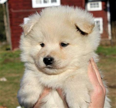 lapphund puppies lapphund puppy tequila www pixshark images galleries with a bite