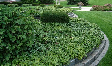 popular landscaping groundcovers and shrubs pachysandra plant