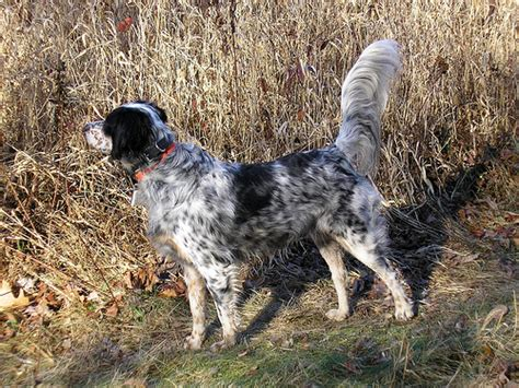 setter pointer dog setter and pointer natural history