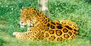 Facts About Jaguars In The Tropical Rainforest Rainforest Jaguar Facts About The Rainforest